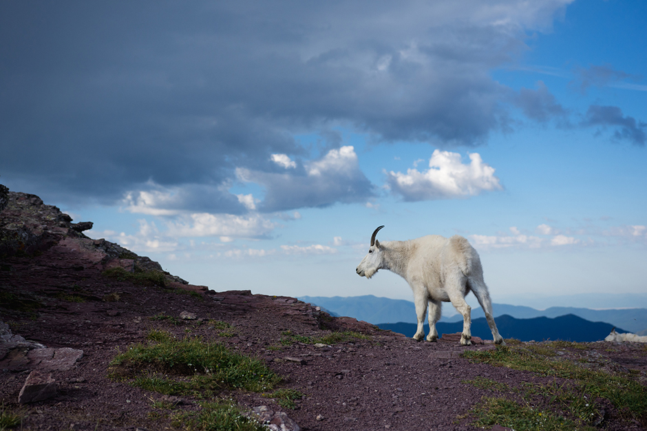 Mountain Goat on hill at Glacier National Park