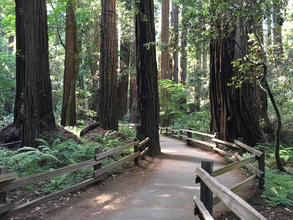 Muir Woods Trees