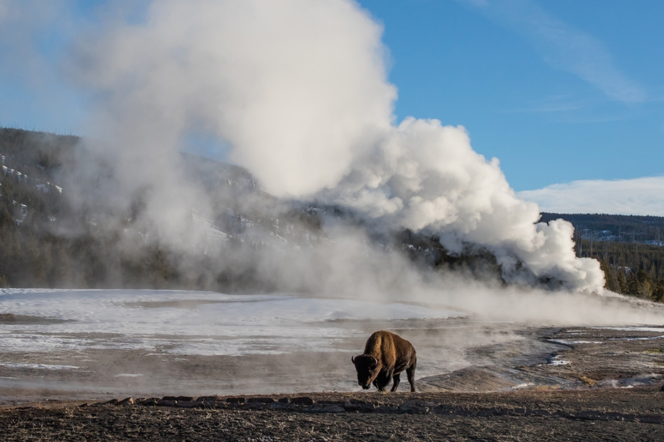 buffalo by the geyser at Yellowstone National Park